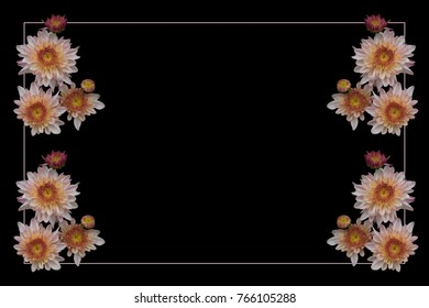 Unique black background bordered by pink frame and brilliant pink Chrysanthemums and orange center with light purple outer colors on the petals.