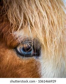 Unique ble eyes of the Icelandic horses