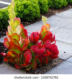 Unique colorful flapjack cactus or paddle plant  kalanchoe luciae makes a dramatic ornamental  statement in any sunny garden  being a popular landscaping plant  for dry regions.