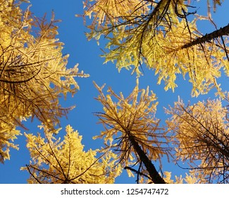 Unique deciduous larch trees with their needles at peak autumn gold color. View from underneath several tall larches, aka tamaracks, in Cascade Mountains of WA state on a clear blue sky October day.