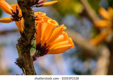 """A unique flora out by trunk """"Tree jasmine"""" (Radermachera ignea / Mayodendron igneum) ; Showing a cluster yellowish orange flowers, horn shaped, blooming at scion stalk. close up, natural sunlight."""