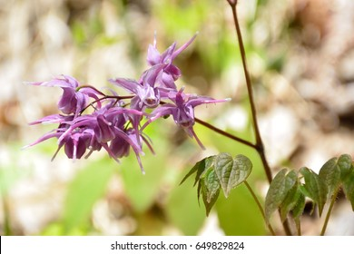 Unique flowers of barrenwort, bishop's hat, fairy wing or horny goatweed
