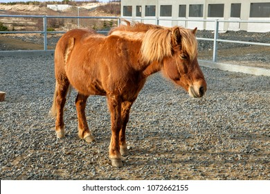 The unique Icelandic Horse stands in his pen in Iceland