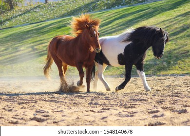 unique Icelandic horses play with each other