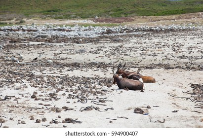 Unique image of bontebok on the white sands of a beach in the Cape Point nature reserve.