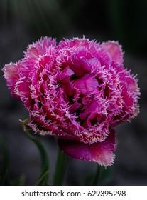 A unique lady. Double frindged purple tulip.