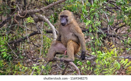 Unique photo of monkey in a bush. Baboon sits on a tree. African wildlife. Close up. Amazing image of a wild animal in natural environment. Awesome portrait of olive baboon.