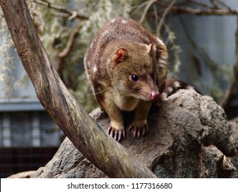 Unique Remarkable Spotted-Tail Quoll in a Elegant Refined Pose.