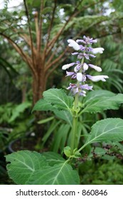 """Unique Salvia Divinorum used as a """"herbal High"""" also known for healing properties"""