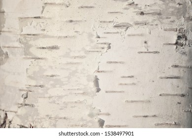 The unique texture of the white bark of European birch close-up