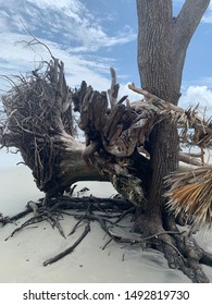 Unique view of intertwined fallen trees and their roots on Hunting Island off South Carolina's beautiful coastline.