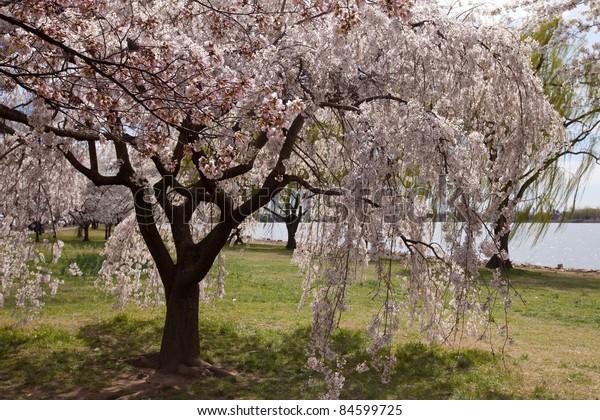Uniquely Shaped Cherry Blossom Tree in Washington DC