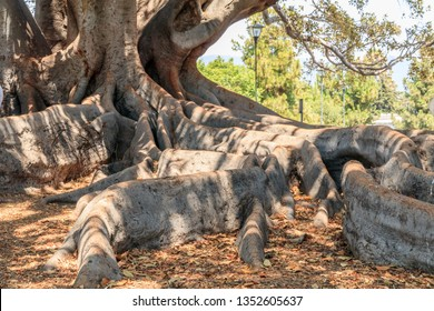 United States, California, Santa Barbara. Moreton Bay Fig Tree. Ficus Macrophylla. California Register of Big Trees.