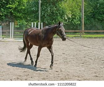 UNITED STATES, WA, SEATTLE - MAY 16, 2018: Mercer Island Saddle Club was established in 1967. Beautiful horse in training