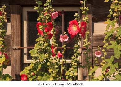 United States, Washington, San Juan County, Orcas Island, Eastsound. Old wooden house with barred window. Red and pink Hollyhocks growing.