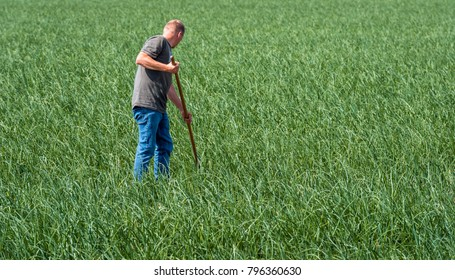An unknown farmer is manually weeding away the weeds in a large onion field in the Netherlands. It is a sunny day in the summer season.