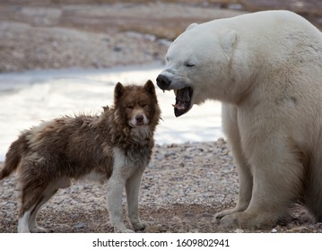 Unlikely pair.  Canadian Eskimo Dog and yawning Polar Bear.  No animals were harmed during this encounter.