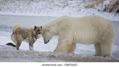 Unlikely pair.  A polar bear and Canadian Eskimo dog.  Late autumn in Churchill, Manitoba, Canada.
