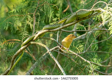 Unlucky juvenile Asian Golden Weaver and a Golden Tree snake are very close to each other