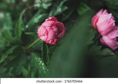 an unopened Bud of a pink wet peony in water drops on a green stalk in the garden. growing flowers, taking care of plants, selective focus