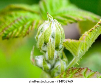 Unopened Spring Bud E, Shallow Depth of Field Nature Photography