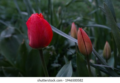 Unopened tulip buds are on the verge of opening