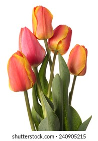 Unopened tulip flowers isolated on a white background.