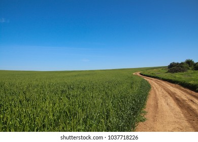 Unpaved road in a green wheat field. On a sunny spring day, blue sky background Copy Space