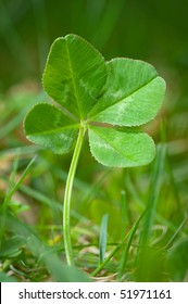 An unpicked four leaf clover isolated in grass.