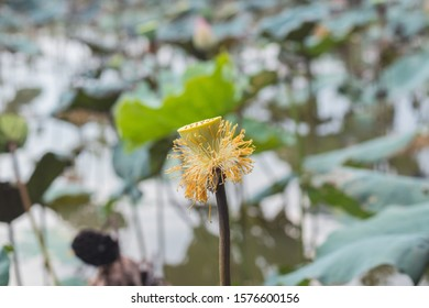 Unraveling lotus flower on a stalk without petals. Against the background of leaves and water of the lake