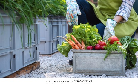 Unrecognisable female farmer holding crate full of freshly harvested vegetables in her garden. Homegrown bio produce concept. Small business owner. Sustainable farm.