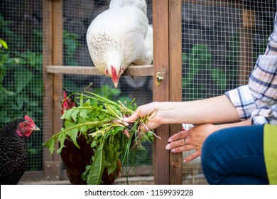 Unrecognisable woman feeding her free range chickens. Egg laying hens and young female farmer. Healthy organic eating lifestyle. Small sustainable farm.