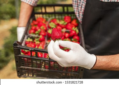 Unrecognizable farmer in gloves demonstrating fresh strawberry while carrying box during harvest in hothouse