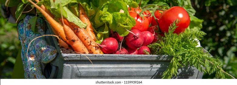 Unrecognizable female farmer holding crate full of freshly harvested vegetables in her garden. Homegrown bio produce concept. Sustainable living banner.