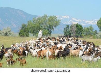Unrecognizable goatherd herding goat herd in field below Rocky Mountains to provide chemical free weed control and wildlife mitigation