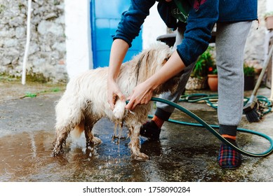unrecognizable person bathing his dog with a hose. dirty mixed breed dog.