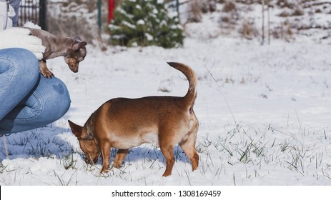 Unrecognizable person with small tiny daschund dog puppy and miniature pinscher while snow is snowing