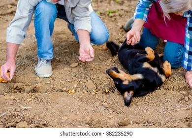 Unrecognizable senior couple planting onions in row, black dog