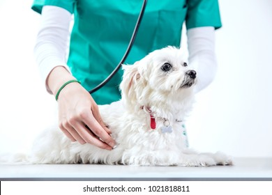 Unrecognizable vet examinates a dog using a stethoscope