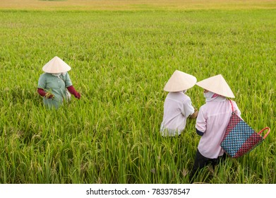 Unrecognizable Vietnamese women work in a rice paddy in the Mekong delta near Vinh Long. The Mekong delta is a major tourist destination to experience rural Vietnam.