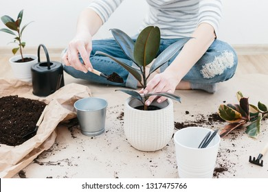 Unrecognizable woman transplanting ficus houseplants sitting on wooden floor. Woman's hands transplanting plant a into a new pot. Home gardening relocating house plant