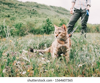 Unrecognizable woman walking with curious ginger cat on a leash on nature in summer.