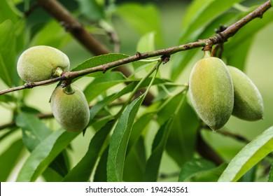 Unripe almonds on almond tree.