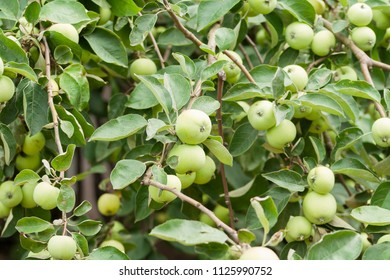 Unripe apples hanging on branches of an apple-tree