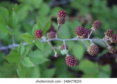 Unripe blackberries on a bramble branch (Rubus ulmifolius)