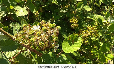 Unripe blackberry fruits on a shrub. Green berries riping on a blackberry prickly bush. Sunlit clusters of unripe, green blackberries. Sunlit cluster of unripe, green berries on a shrub.