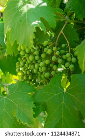 Unripe bunch of green grapes closeup. Fresh green grapevines with immature grape berries and lush foliage. Summer time at vineyard