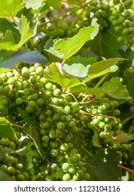 Unripe bunches of grapes in an italian vineyard.