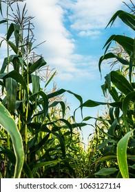 unripe corn field