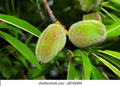 Unripe green almonds on tree.